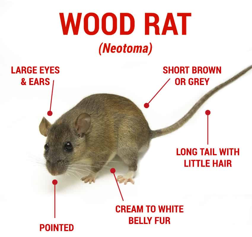 Your Guide To Getting Rid of Rats 2019 | Traps, Poison