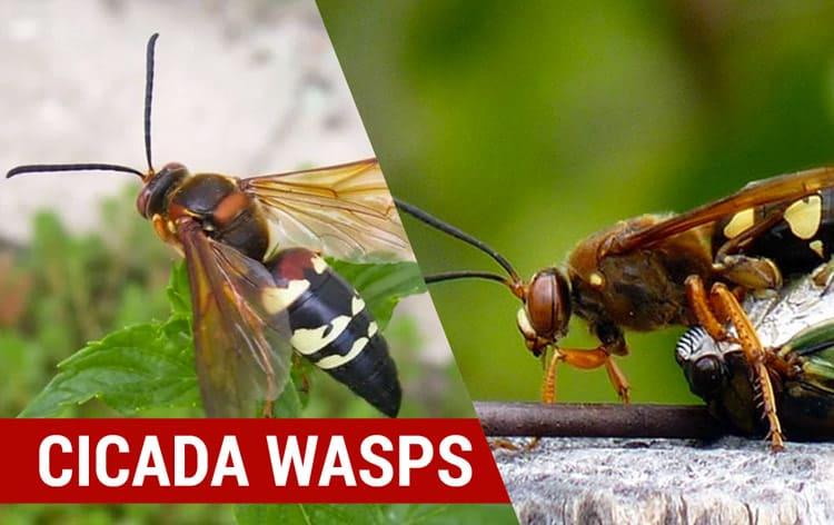 cicada wasps