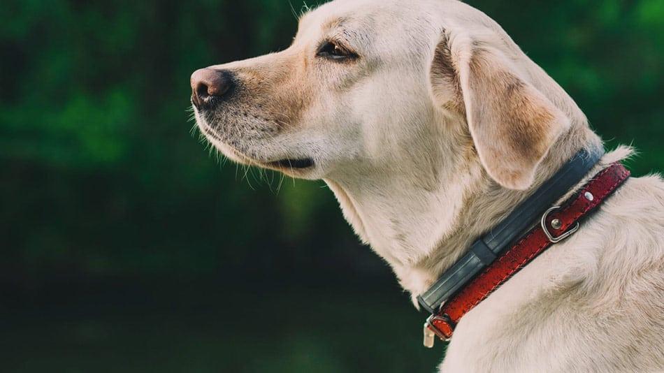 do dog flea collars work