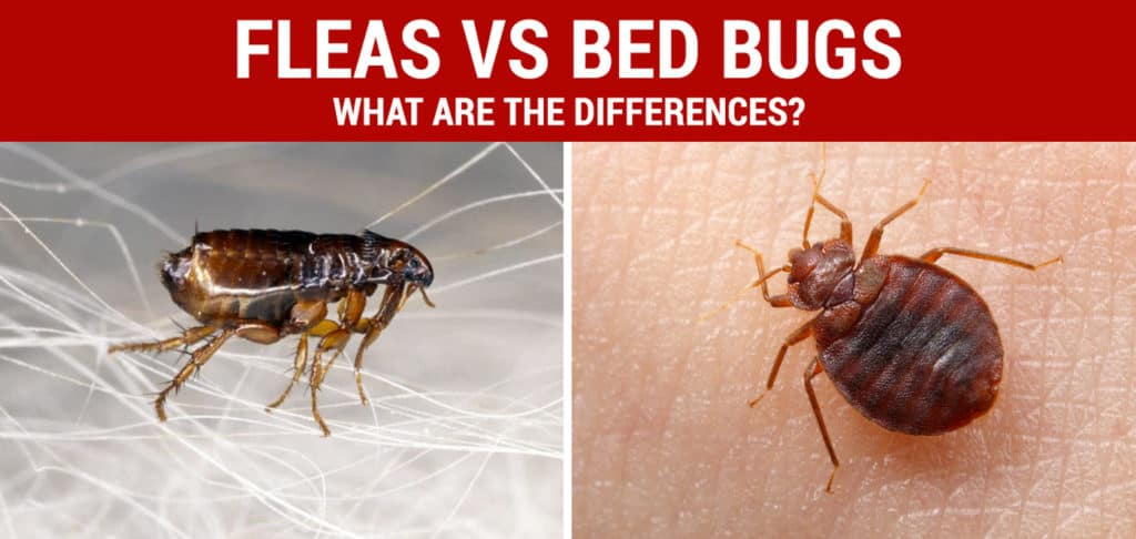 How To Get Rid Of Bed Bugs Detection Treatment Amp Prevention