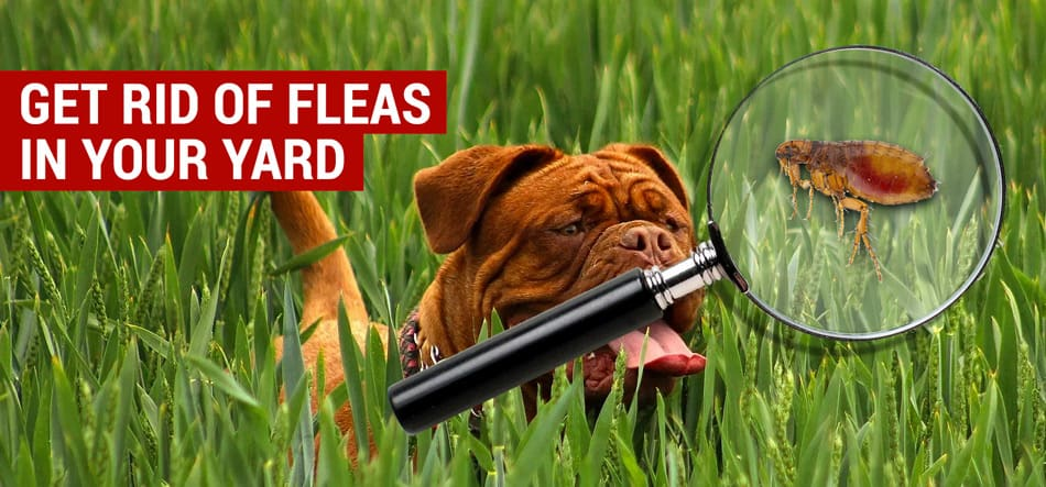 get rid of fleas in your yard naturally