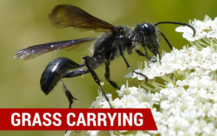 how to identify grass carrying wasps
