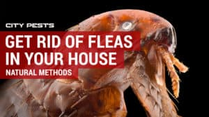 how to get rid of fleas in house and yard naturally