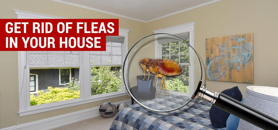 How To Get Rid Of Fleas In Your House And Yard Naturally City Pests