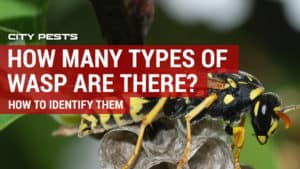 how to identify common wasps