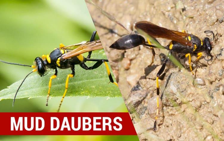 how to identify mud daubers