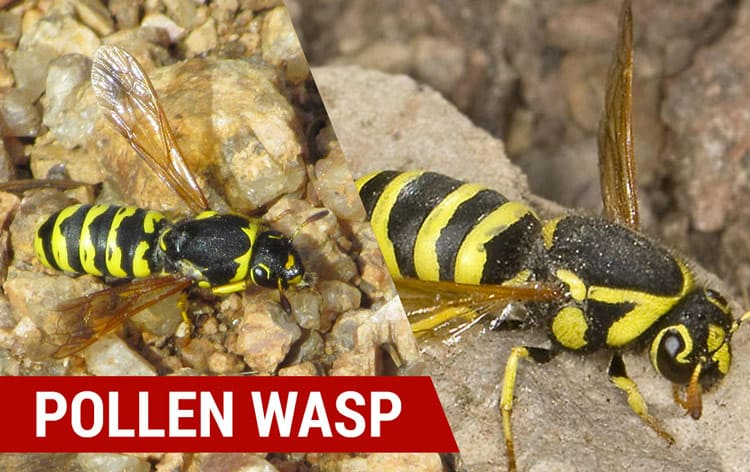 how to identify pollen wasps