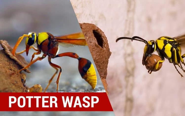 identity potter wasps