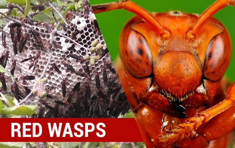how to identify red wasps