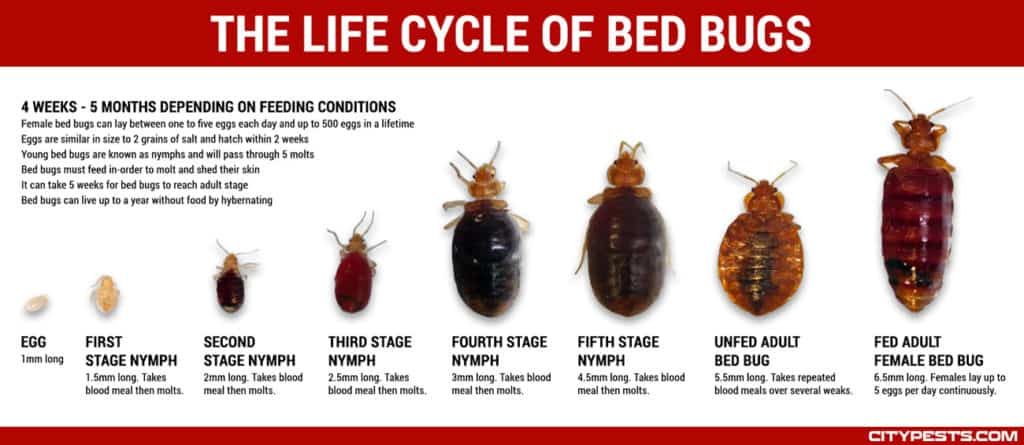 what do bed bugs look like