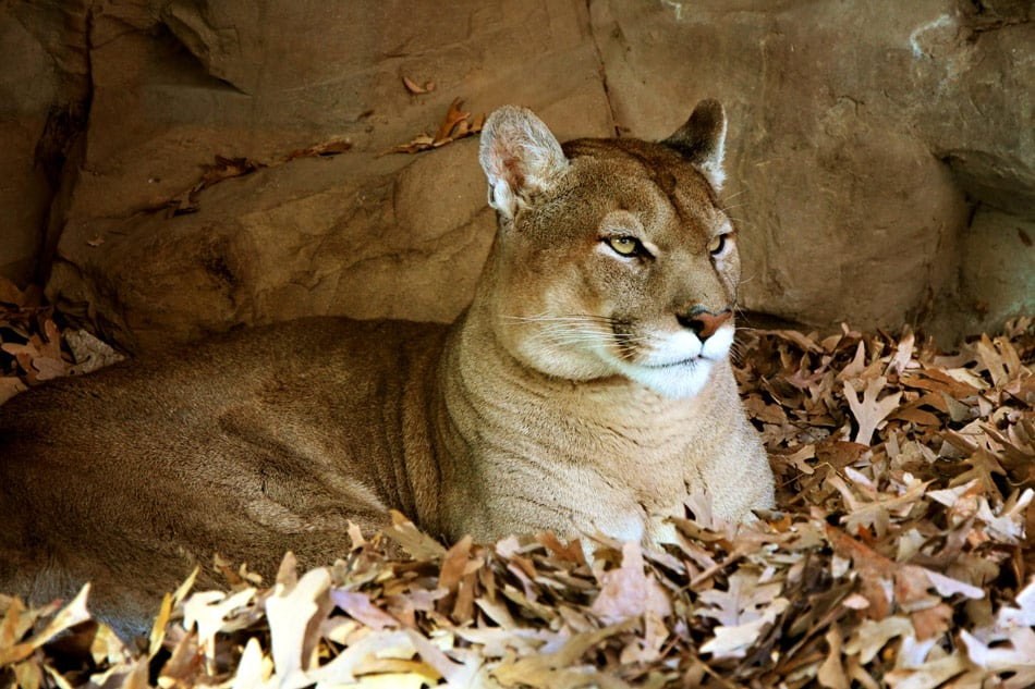 mountain lions are being found dead due to rat poison in California
