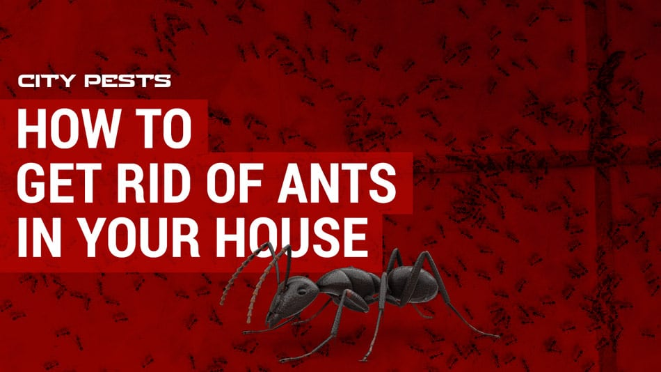 how to get rid of ants in your house and kitchen