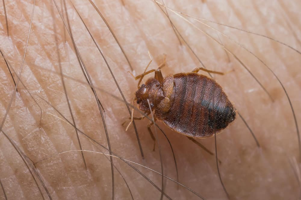 Bed Bugs In Hair | Symptoms, Pictures and Treatment for Bugs