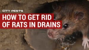 How to kill rats without poison | Methods to rid your home