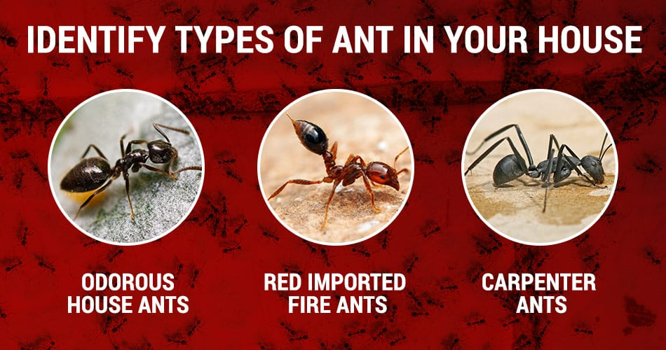 how to identify the different types of ant in your house