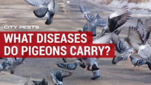 what diseases do pigeons carry