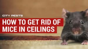 how to get rid of mice in ceilings