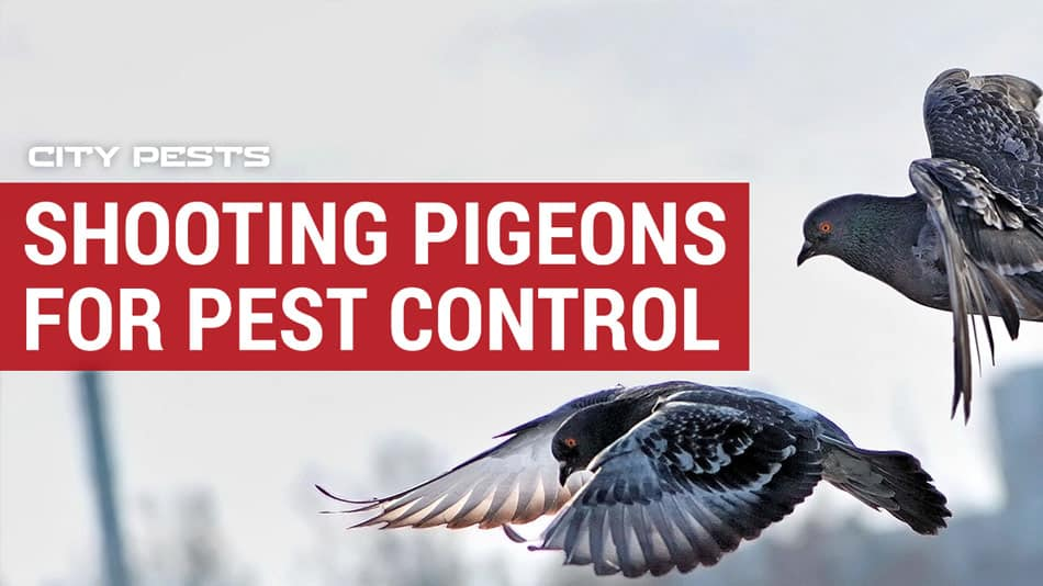 how to shoot pigeons for pest control