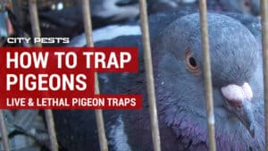 how to trap pigeons