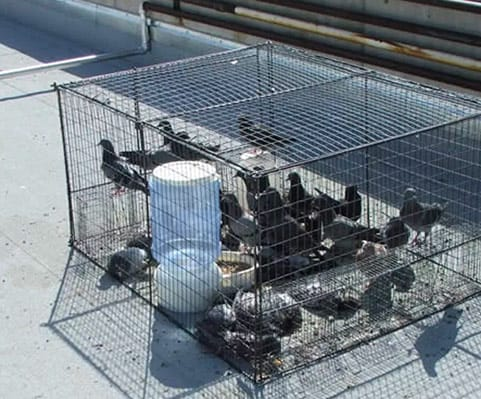 live humane pigeon traps