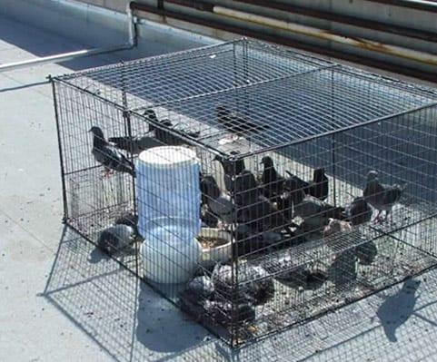 trampas para palomas humanas en vivo