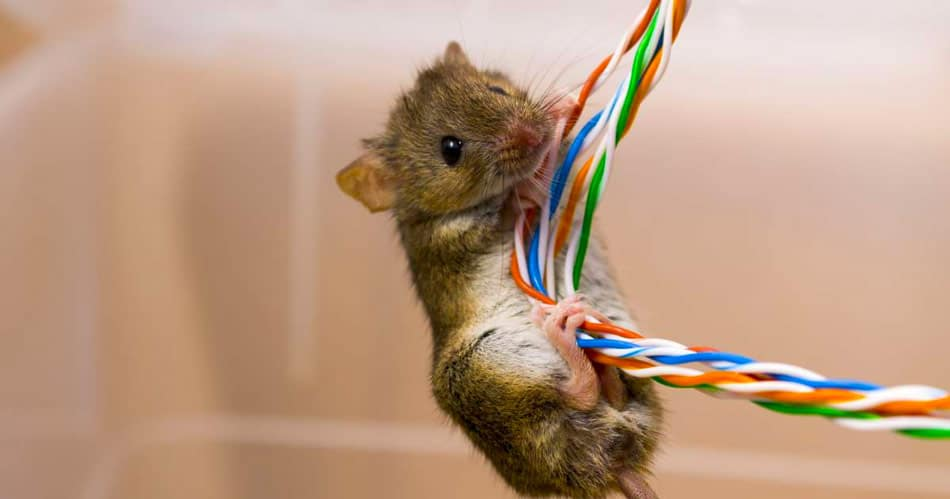 mice chew electrical cables in ceilings