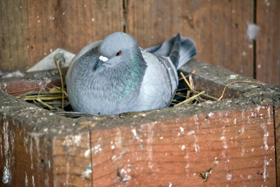 pigeons transmit diseases