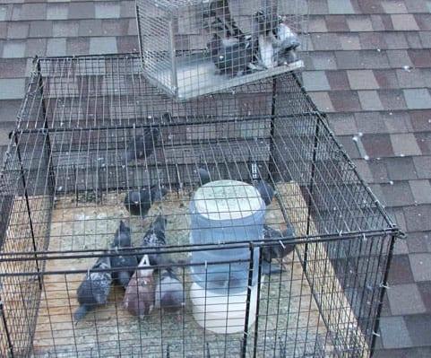 usando trampas en el techo para atrapar palomas
