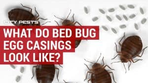 what do bed bug egg casings look like