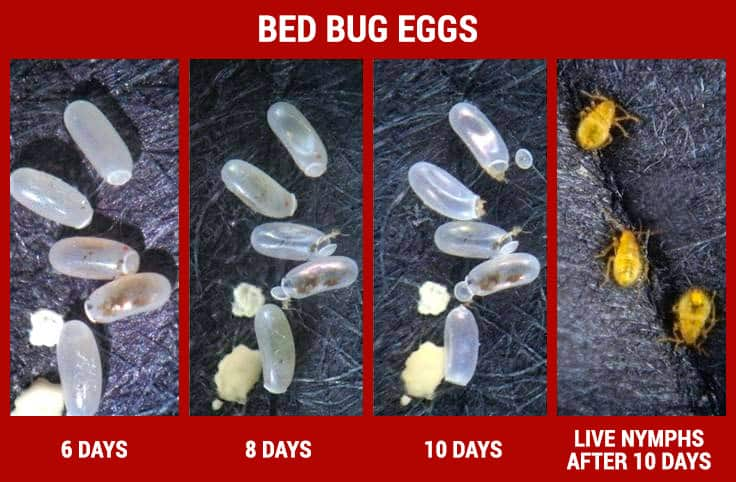 bed bug eggs lifecycle