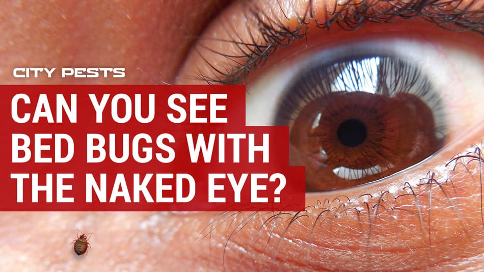 can you see bed bugs with naked human eye on skin