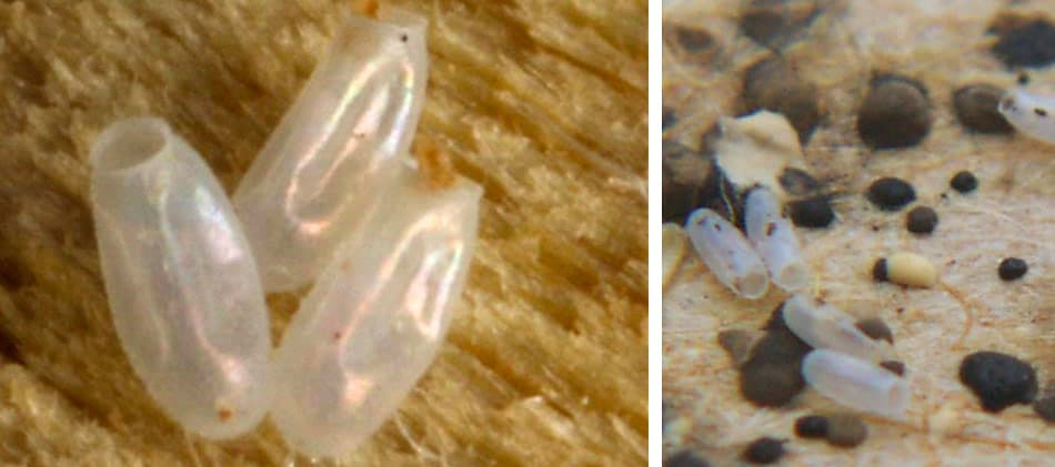 What do bed bug egg casings look like? Are bed bug eggs hard?