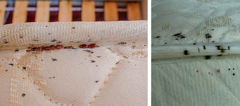 blood stains are bed bug poop