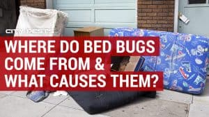 where do bed bugs come from what causes bed bugs
