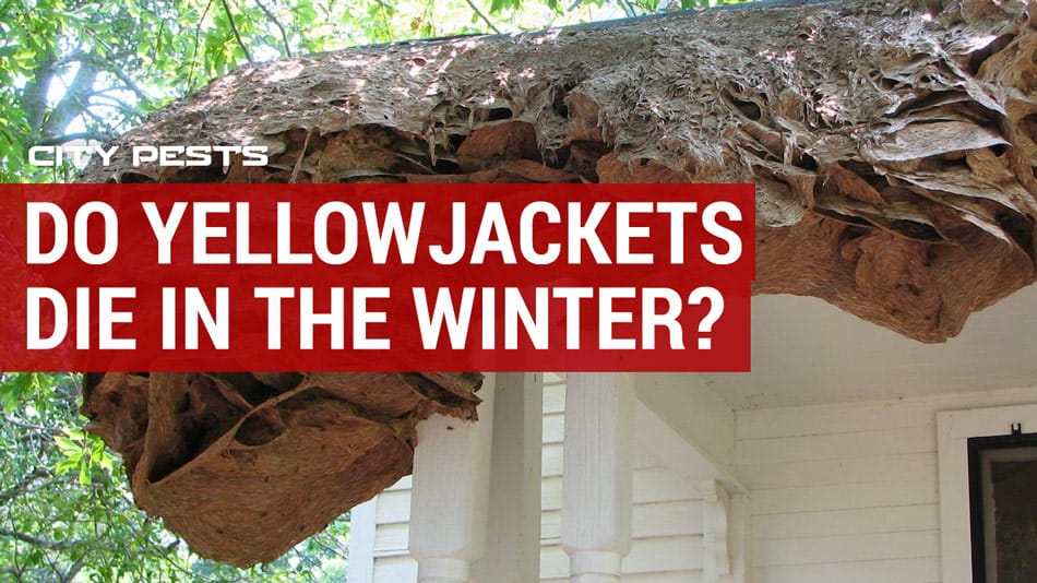 do yellow jackets and nests die in the winter