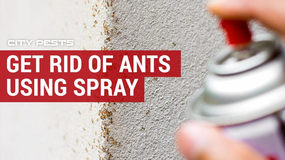 how to get rid of ants using spray