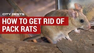 how to get rid of pack rats