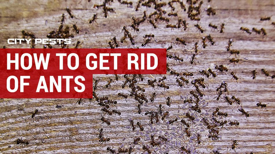 how to get rid of ants using gel, sprays and dust