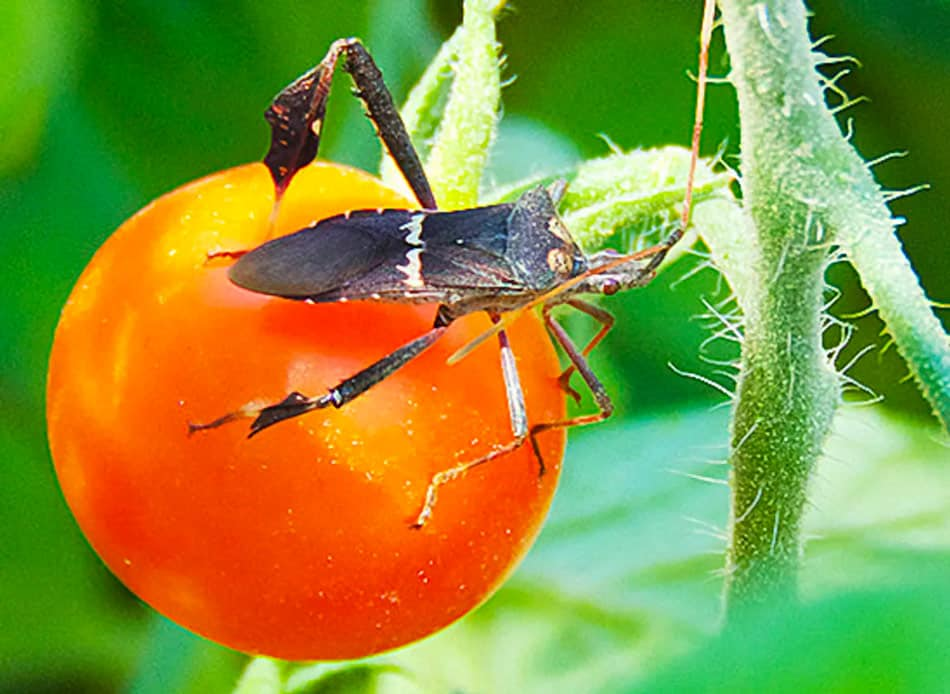what insects does sevin dust kill