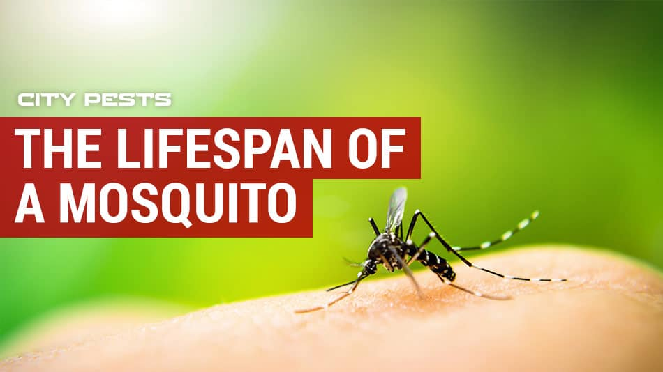 what is the lifespan of a mosquito