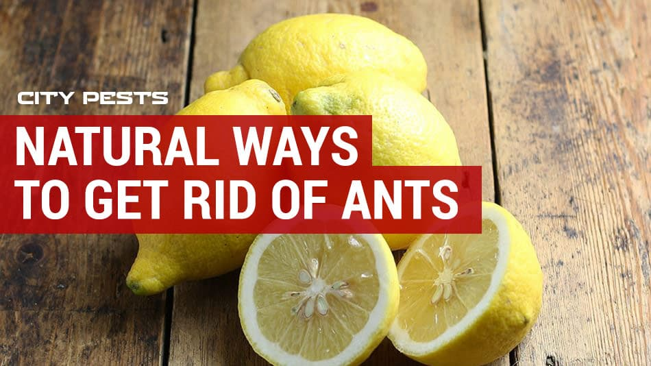 natural methods to get rid of ants