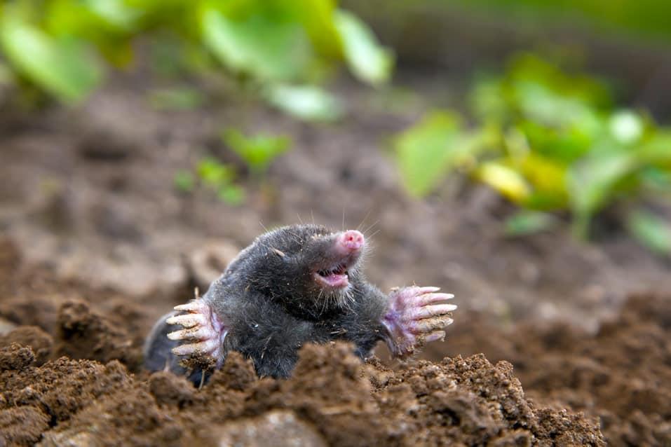 moles eat termites