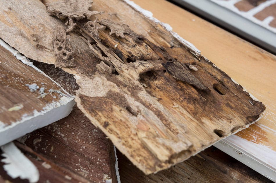 do termites eat painted wood