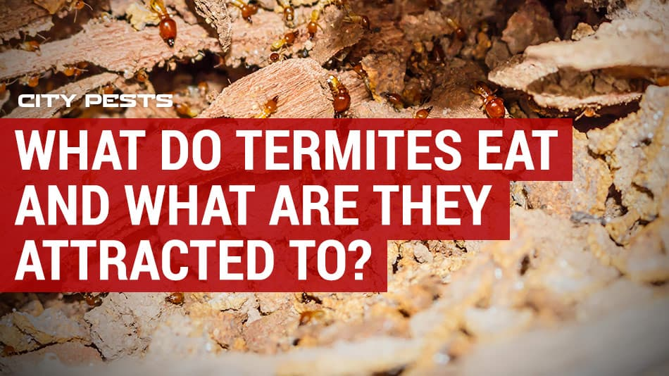 what do termites eat