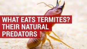 what eats termites