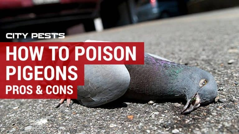 how to poison pigeons