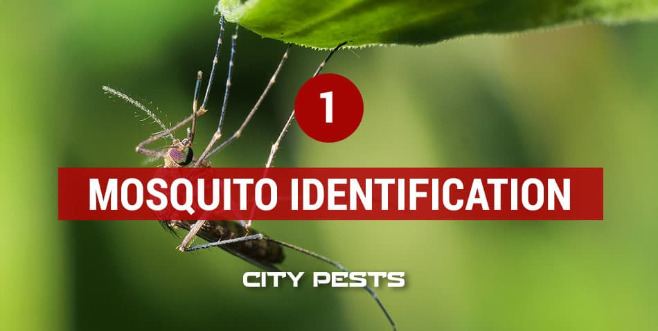 how to identify mosquitoes