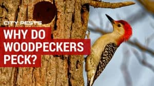 why do woodpeckers wood