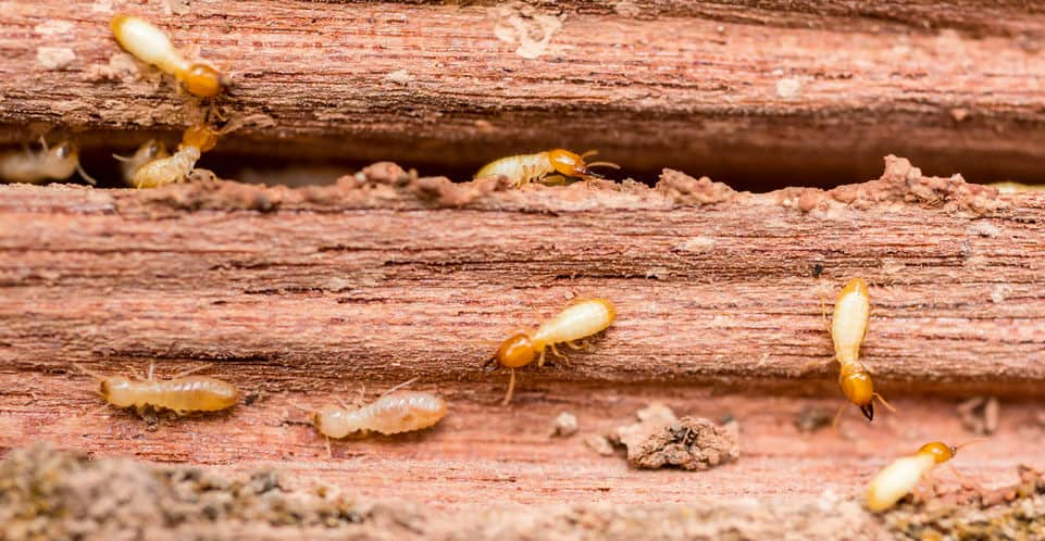 best nematodes for termites