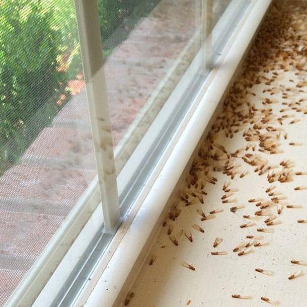 dead winged termites on window sill